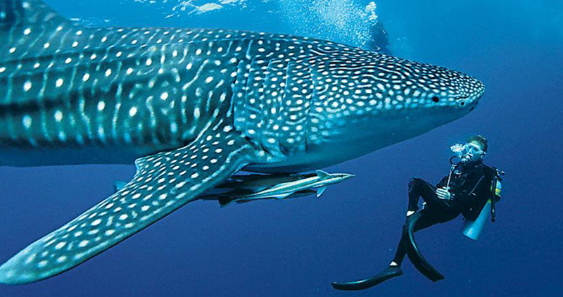 Whale sharks Maldives