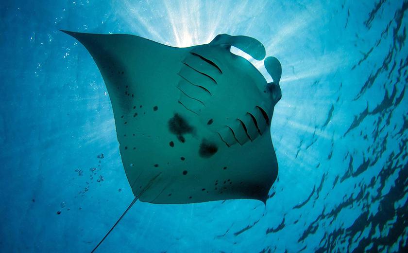 Lily Beach Maldives - Stingray